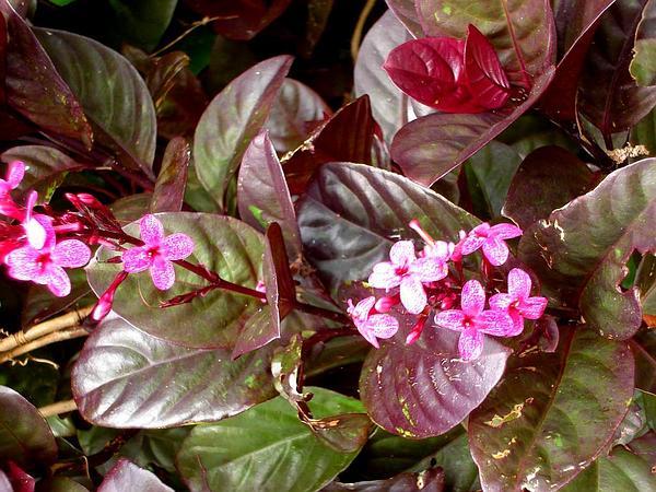 Carruthers' Falseface (Pseuderanthemum Carruthersii) http://www.sagebud.com/carruthers-falseface-pseuderanthemum-carruthersii/