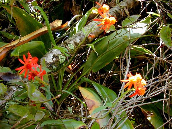 Mexican Flamevine (Pseudogynoxys Chenopodioides) http://www.sagebud.com/mexican-flamevine-pseudogynoxys-chenopodioides/