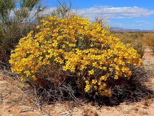 Whitestem Paperflower (Psilostrophe Cooperi) http://www.sagebud.com/whitestem-paperflower-psilostrophe-cooperi