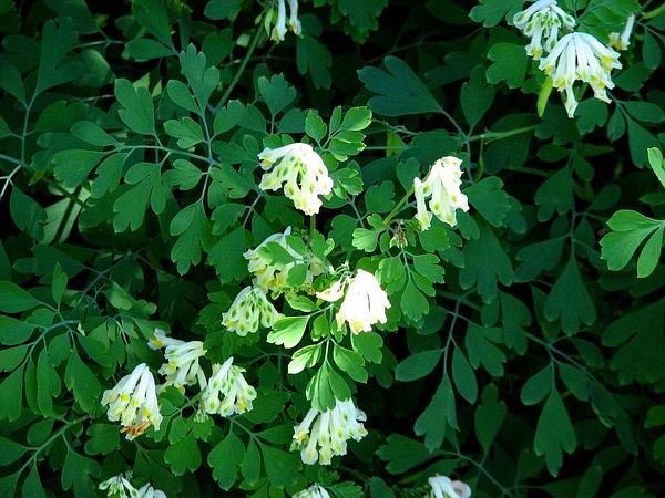 Pseudofumaria (Pseudofumaria) http://www.sagebud.com/pseudofumaria-pseudofumaria/