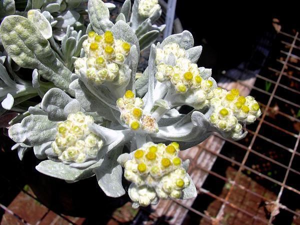 Cudweed (Pseudognaphalium) http://www.sagebud.com/cudweed-pseudognaphalium