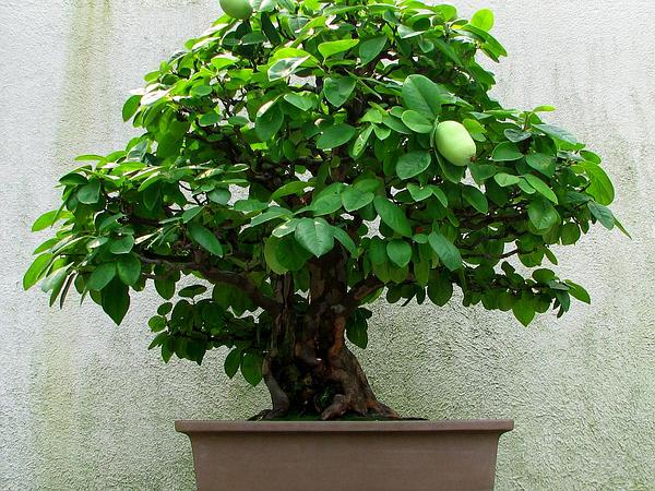 Chinese-Quince (Pseudocydonia) http://www.sagebud.com/chinese-quince-pseudocydonia