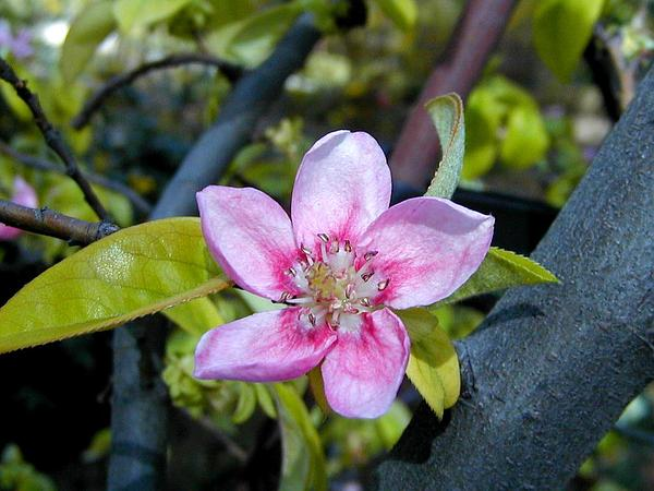Chinese-Quince (Pseudocydonia) http://www.sagebud.com/chinese-quince-pseudocydonia/