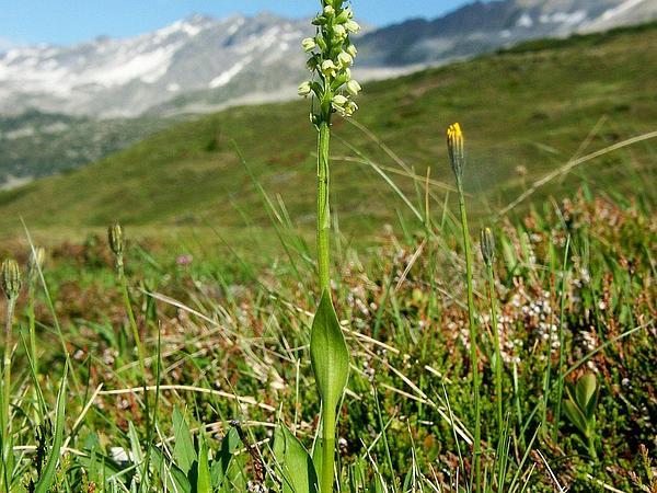 Bog Orchid (Pseudorchis) http://www.sagebud.com/bog-orchid-pseudorchis