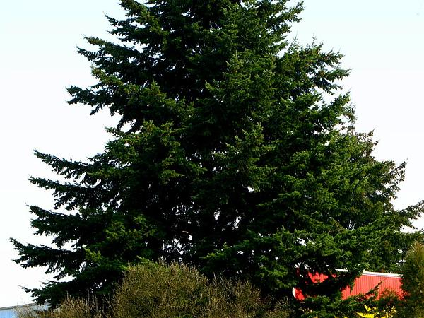 Douglas-Fir (Pseudotsuga) http://www.sagebud.com/douglas-fir-pseudotsuga