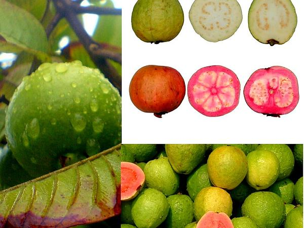 Guava (Psidium Guajava) http://www.sagebud.com/guava-psidium-guajava/