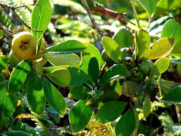 Guava (Psidium Guajava) http://www.sagebud.com/guava-psidium-guajava