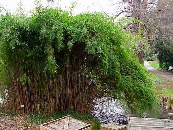 Arrow Bamboo (Pseudosasa Japonica) http://www.sagebud.com/arrow-bamboo-pseudosasa-japonica