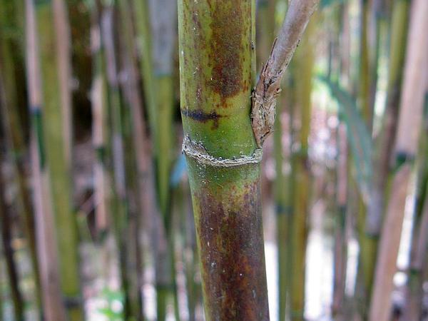 Arrow Bamboo (Pseudosasa Japonica) http://www.sagebud.com/arrow-bamboo-pseudosasa-japonica/