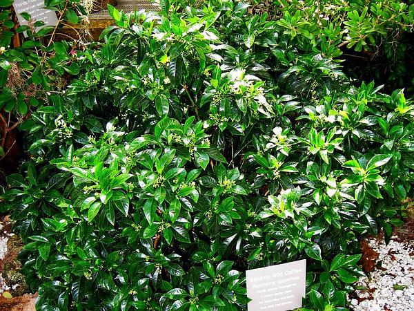Bahama Wild Coffee (Psychotria Ligustrifolia) http://www.sagebud.com/bahama-wild-coffee-psychotria-ligustrifolia