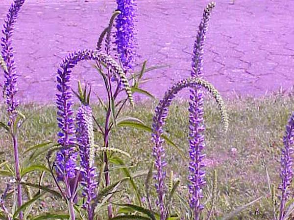 Longleaf Speedwell (Pseudolysimachion Longifolium) http://www.sagebud.com/longleaf-speedwell-pseudolysimachion-longifolium/
