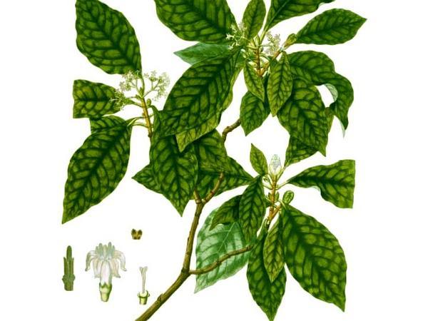Seminole Balsamo (Psychotria Nervosa) http://www.sagebud.com/seminole-balsamo-psychotria-nervosa/