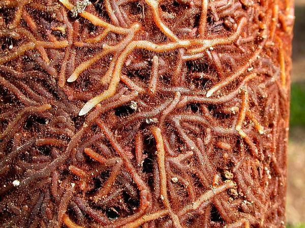 Whisk Fern (Psilotum Nudum) http://www.sagebud.com/whisk-fern-psilotum-nudum