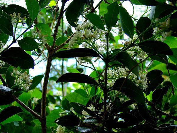 Alahe'E (Psydrax Odorata) http://www.sagebud.com/alahee-psydrax-odorata/
