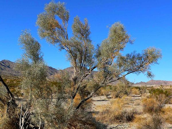 Dalea (Psorothamnus) http://www.sagebud.com/dalea-psorothamnus