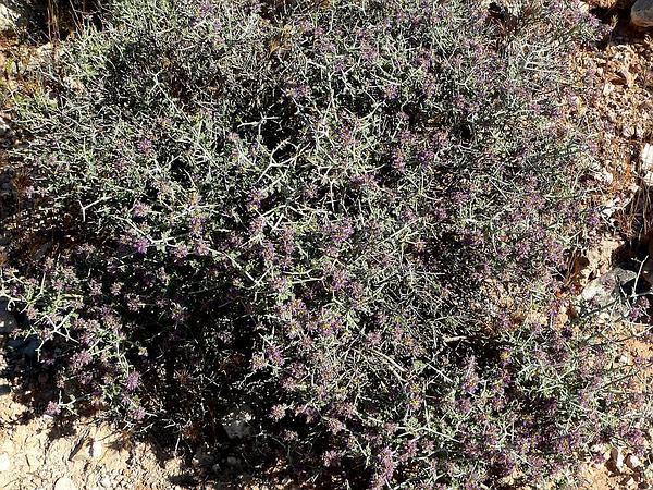 Nevada Dalea (Psorothamnus Polydenius) http://www.sagebud.com/nevada-dalea-psorothamnus-polydenius