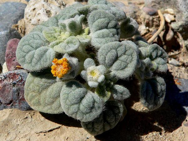 Velvet Turtleback (Psathyrotes Ramosissima) http://www.sagebud.com/velvet-turtleback-psathyrotes-ramosissima/