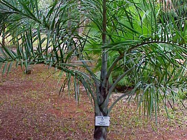 Florida Cherry Palm (Pseudophoenix Sargentii) http://www.sagebud.com/florida-cherry-palm-pseudophoenix-sargentii