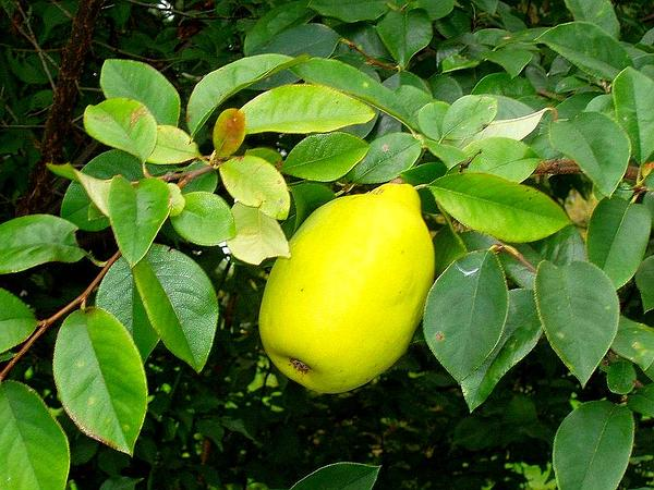 Chinese-Quince (Pseudocydonia Sinensis) http://www.sagebud.com/chinese-quince-pseudocydonia-sinensis/