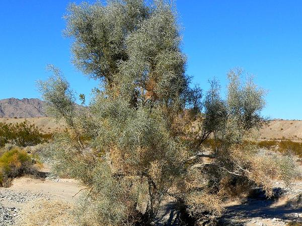 Smoketree (Psorothamnus Spinosus) http://www.sagebud.com/smoketree-psorothamnus-spinosus
