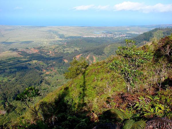 Wild Coffee (Psychotria) http://www.sagebud.com/wild-coffee-psychotria