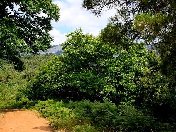 Western Brackenfern (Pteridium Aquilinum) http://www.sagebud.com/western-brackenfern-pteridium-aquilinum