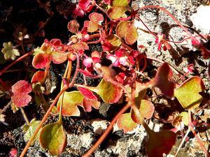 Woodland Pterostegia