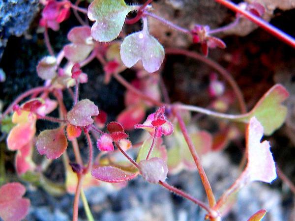 Woodland Pterostegia (Pterostegia Drymarioides) http://www.sagebud.com/woodland-pterostegia-pterostegia-drymarioides