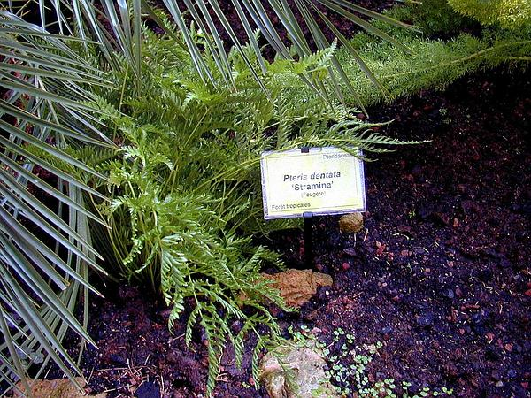 Brake Fern (Pteris) http://www.sagebud.com/brake-fern-pteris