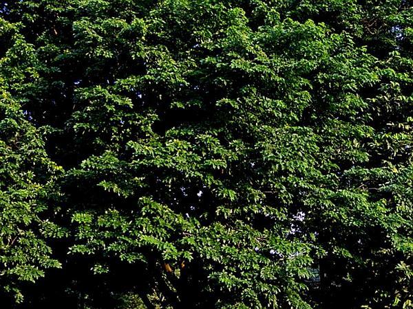 Pterocarpus (Pterocarpus) http://www.sagebud.com/pterocarpus-pterocarpus/