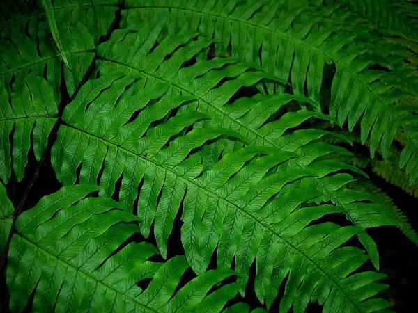 Waimakanui (Pteris Excelsa) http://www.sagebud.com/waimakanui-pteris-excelsa