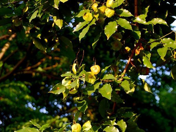 Pterocarpus (Pterocarpus Indicus) http://www.sagebud.com/pterocarpus-pterocarpus-indicus