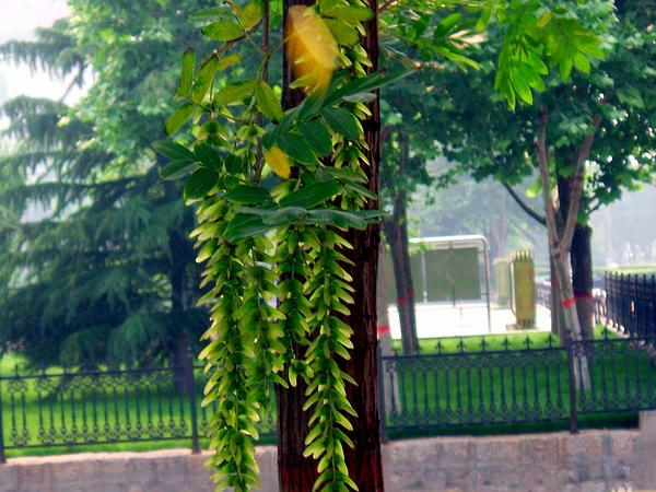 Chinese Wingnut (Pterocarya Stenoptera) http://www.sagebud.com/chinese-wingnut-pterocarya-stenoptera