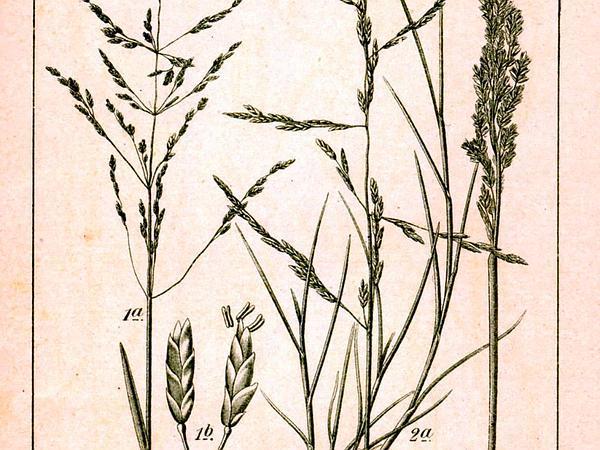 Alkaligrass (Puccinellia) http://www.sagebud.com/alkaligrass-puccinellia