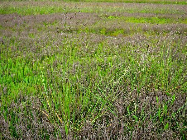 Alkaligrass (Puccinellia) http://www.sagebud.com/alkaligrass-puccinellia/