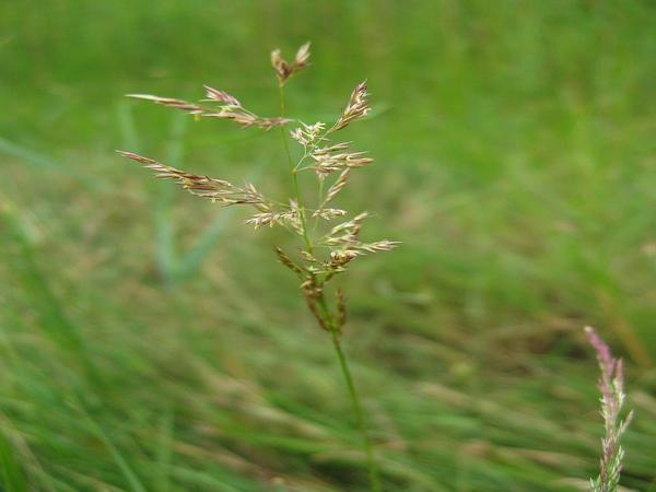 Weeping Alkaligrass (Puccinellia Distans) http://www.sagebud.com/weeping-alkaligrass-puccinellia-distans/