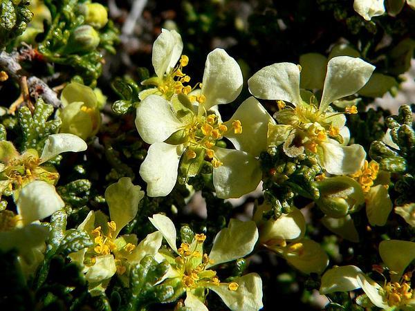 Desert Bitterbrush (Purshia Glandulosa) http://www.sagebud.com/desert-bitterbrush-purshia-glandulosa/