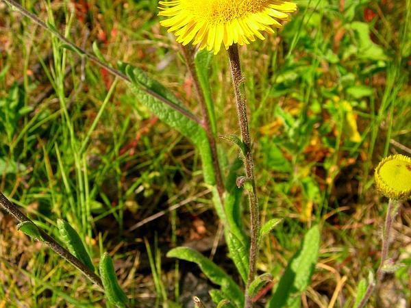 False Fleabane (Pulicaria) http://www.sagebud.com/false-fleabane-pulicaria/