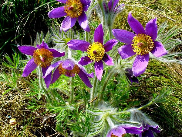 Pasqueflower (Pulsatilla) http://www.sagebud.com/pasqueflower-pulsatilla/