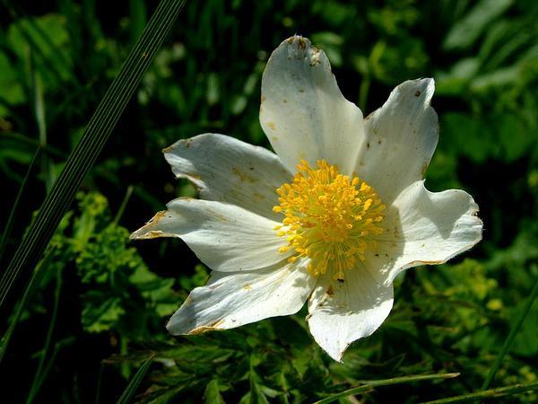 Pasqueflower (Pulsatilla) http://www.sagebud.com/pasqueflower-pulsatilla