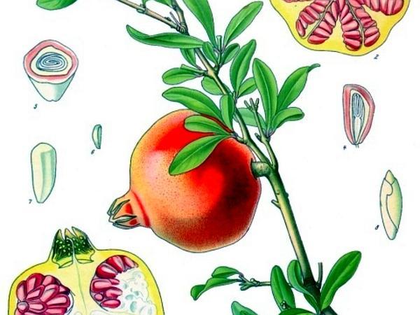 Pomegranate (Punica) http://www.sagebud.com/pomegranate-punica