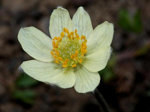 White Pasqueflower (Pulsatilla Occidentalis) http://www.sagebud.com/white-pasqueflower-pulsatilla-occidentalis