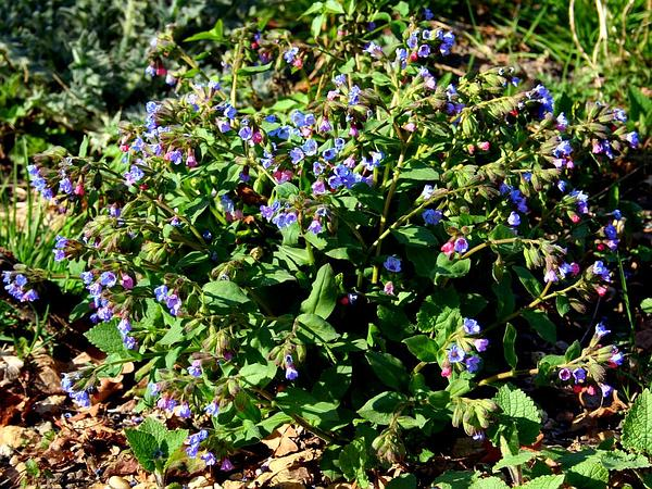 Common Lungwort (Pulmonaria Officinalis) http://www.sagebud.com/common-lungwort-pulmonaria-officinalis