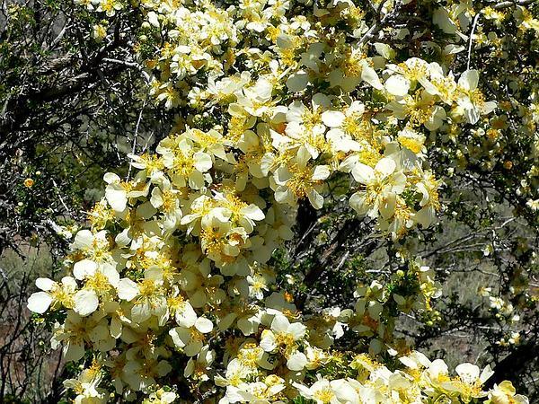 Bitterbrush (Purshia) http://www.sagebud.com/bitterbrush-purshia/