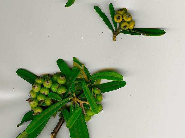 Narrowleaf Firethorn (Pyracantha Angustifolia) http://www.sagebud.com/narrowleaf-firethorn-pyracantha-angustifolia