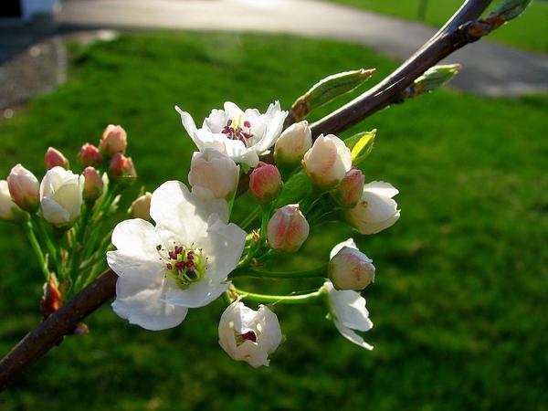Callery Pear (Pyrus Calleryana) http://www.sagebud.com/callery-pear-pyrus-calleryana