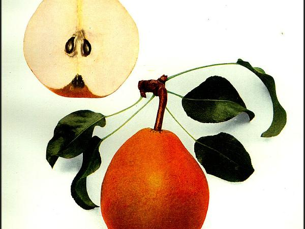 Common Pear (Pyrus Communis) http://www.sagebud.com/common-pear-pyrus-communis