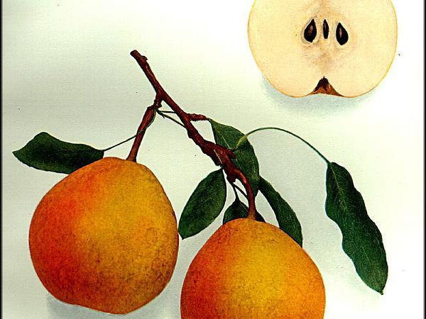 Common Pear (Pyrus Communis) http://www.sagebud.com/common-pear-pyrus-communis