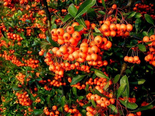 Scarlet Firethorn (Pyracantha Coccinea) http://www.sagebud.com/scarlet-firethorn-pyracantha-coccinea/