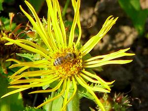 Curlyhead Goldenweed